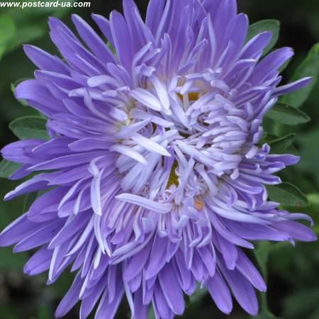 Квіти - листівки та привітання