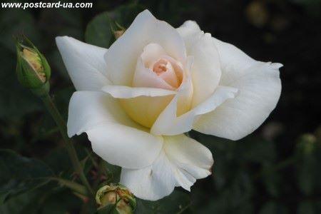 Квіти - листівки та привітання, #482