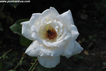 Квіти - листівки та привітання, #485
