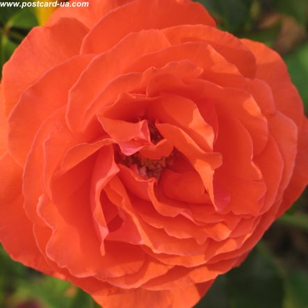 Квіти - листівки та привітання, #487