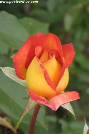 Квіти - листівки та привітання, #488